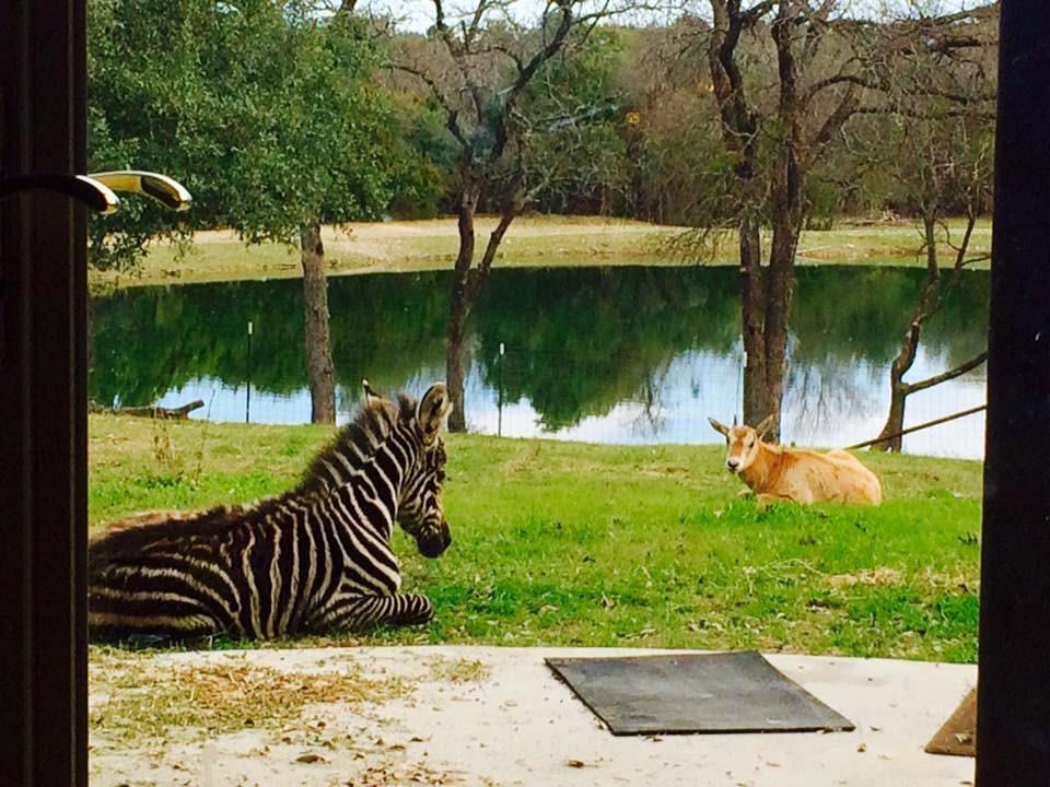 367.64 ACRES. AMAZING HOME of 4203 sq.ft. & HEATED IN-GROUND POOL with HOT TUB. Perimeter has HIGH GAME FENCING & CROSS FENCING, 5 OUT-BUILDINGS. Some EXOTIC ANIMALS to convey with property! You can watch the deer & zebra herds go by from your living room! Short 15 minute drive to Burnet or Lampasas, 40 minutes to the Killeen airport & 1.5 hour to downtown Austin. Seller will consider subdividing some of the property into smaller acreage tracts (Sized for you 10 to 150 acres) starting at 20,000 an acre?Restrictions: Unknown
